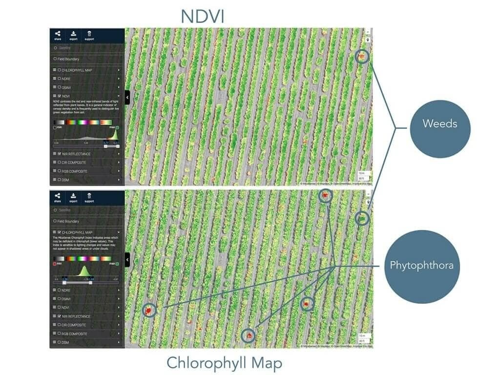 Cholorophyll map identified fungal infection missed by NDVI